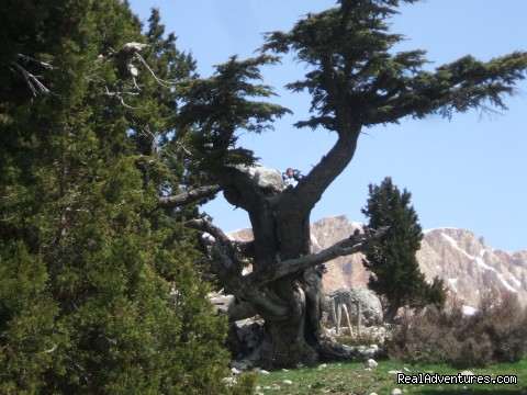 Cedar Tree in Cukurardic yaila (Arsakoy) - Hiking in Kayakoy, Turkey: the Spirit of Lycia