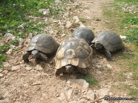 Turtles family on the way (#19 of 24) - Hiking in Kayakoy, Turkey: the Spirit of Lycia