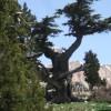 Cedar Tree in Cukurardic yaila (Arsakoy)