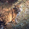 Clouded Leopard at Manas