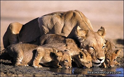 Lioness and its cubs (#4 of 19) - Great Migration Safari in Kenya