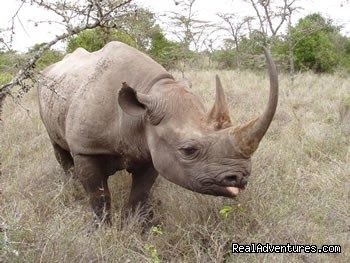 Black Rhinoceros - Great Migration Safari in Kenya