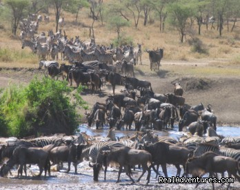 Great Migration Safari in Kenya Migration of wild beests in Masai Mara