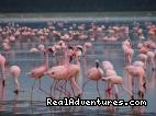 Flamingos - Great Migration Safari in Kenya