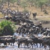 Great Migration Safari in Kenya Wildlife & Safari Tours Kenya
