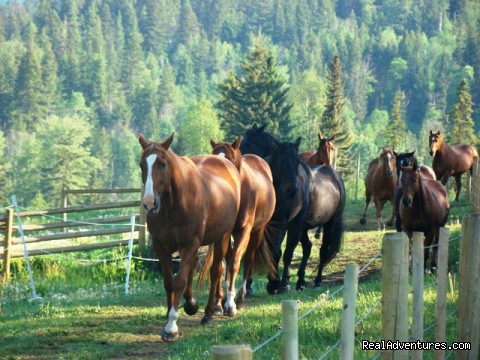 Our Herd - Guest / Dude Ranch in British Columbia, Canada