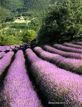Lavender fields everywhere - Cooking courses. Wine tours. Culinary adventures.
