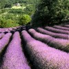 Lavender fields everywhere