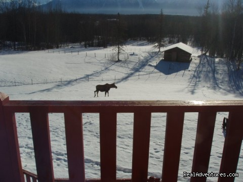 Moose meanderng through the yard - Alaska's Harvest Bed & Breakfast