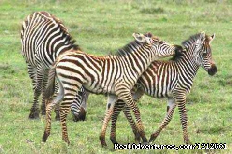 Zebras in Lake Manyara Park - 5 Days 4 Nights Luxury Lodge Safari Experience