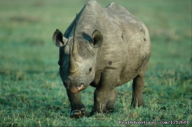 Black Rhino in Ngorongoro Crater - 5 Days 4 Nights Luxury Lodge Safari Experience