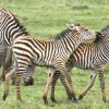 Zebras in Lake Manyara Park