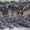 The Anual Serengeti Migration