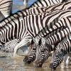 Zebras in Ngorongoro Soda Lake