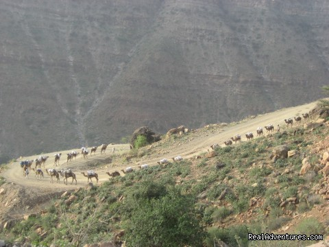 Camel caravans - Edenland Tour and Travel Ethiopia
