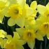 Daffodils in the Spring.