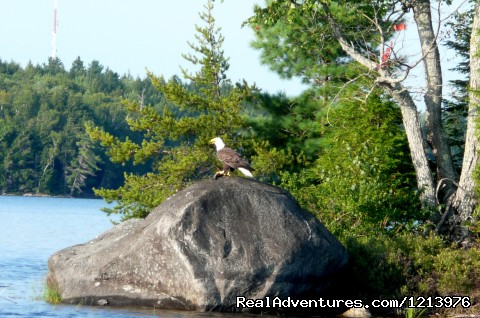 Bald Eagle with a fish. - A Unique Waterfront B & B in the Heart of Maine
