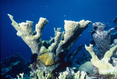 Elk horn coral (#5 of 12) - Caribbean Images Tours