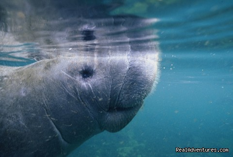 Manatee (#1 of 12) - Caribbean Images Tours