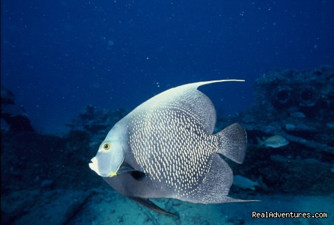 French Angel fish - Caribbean Images Tours