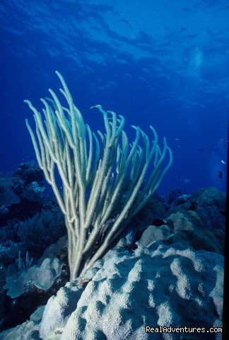 Gorgonia soft coral - Caribbean Images Tours