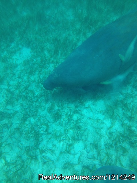 Caribbean Manatee (#11 of 21) - Sail Snorkel Party on the Sailing Catamaran FunCat