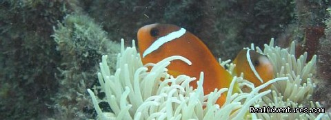 A Nemo (clownfish) on the Great Astrolabe - Waisalima Beach Resort & Dive Centre