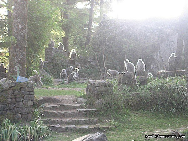 Langurs in the garden | Image #3/19 | Himalayan nature resort at Eagles Nest India