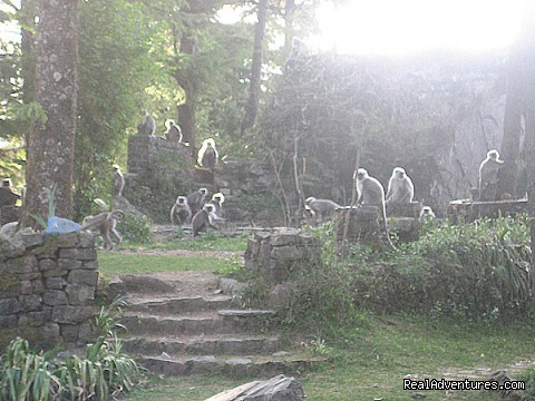 Langurs in the garden (#4 of 22) - Himalayan nature resort at Eagles Nest India