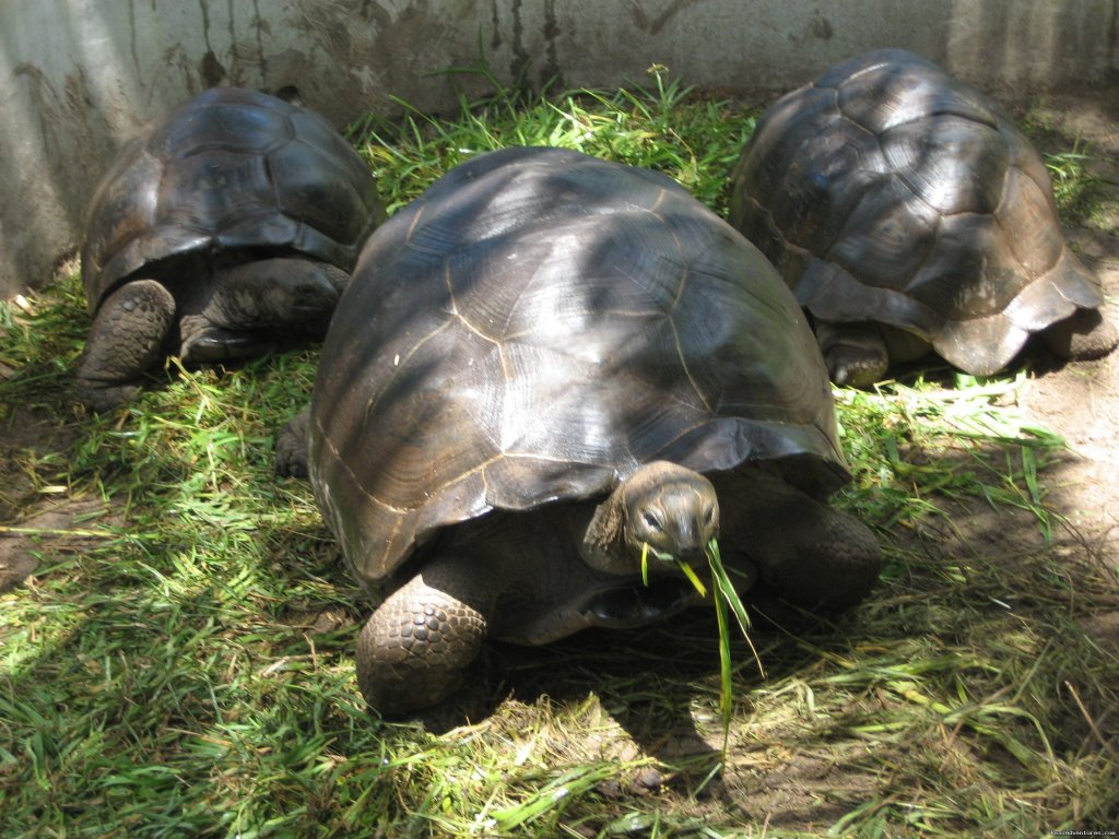 Giant Tortoises of the Seychelles | Image #9/10 | Beach Bungalows in the Seychelles