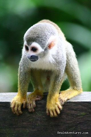 Monkey - Learn Spanish & Volunteer in Amazonas - Colombia