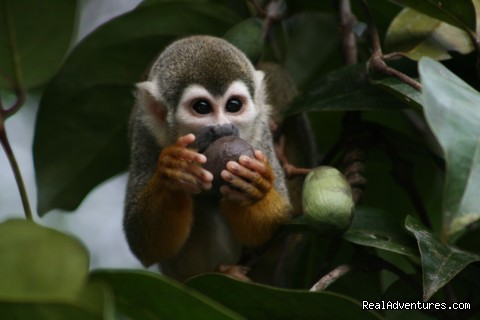 Monkey (#24 of 26) - Learn Spanish & Volunteer in Amazonas - Colombia
