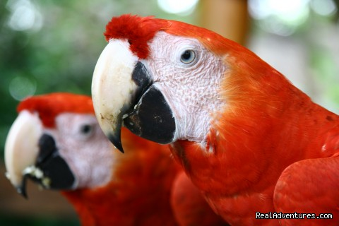 Parrots - Learn Spanish & Volunteer in Amazonas - Colombia
