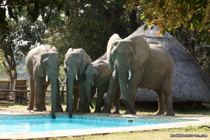 Elephants drinking from the pool - Flatdogs, South Luangwa | Image #6/23 | Malawian Style - Safari, Mountain, Lake Adventures