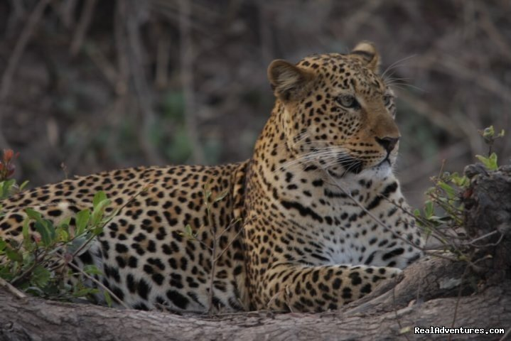 Leopard, South Luangwa | Image #7/23 | Malawian Style - Safari, Mountain, Lake Adventures