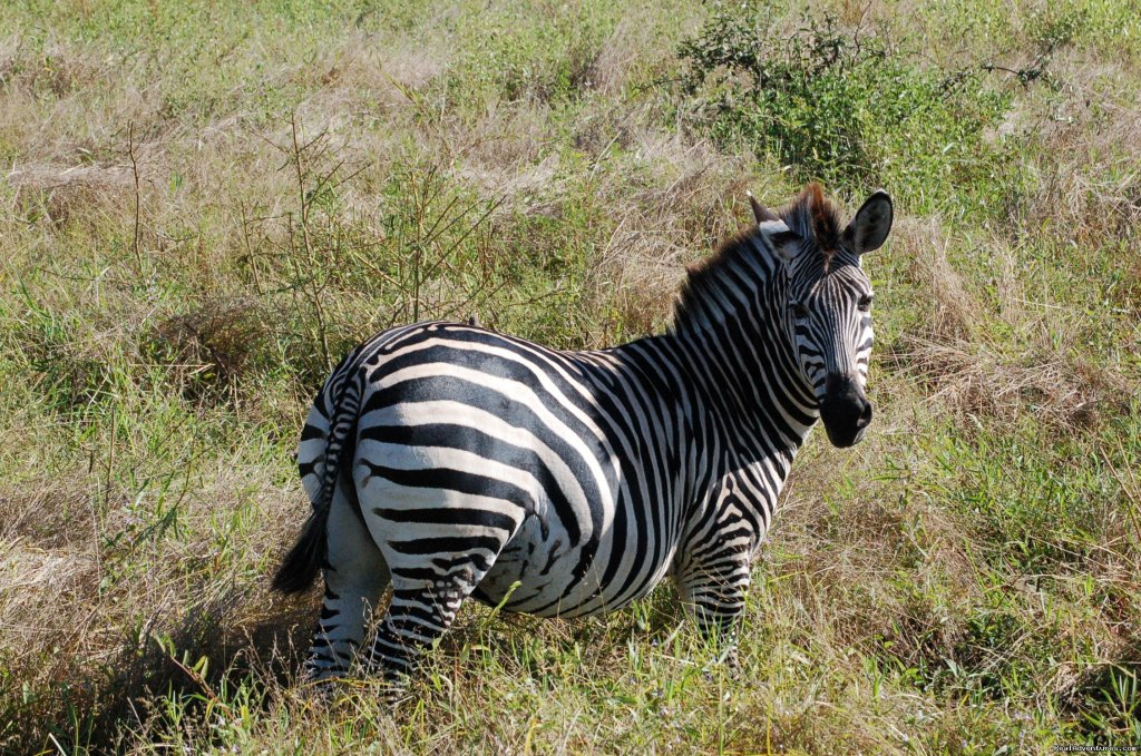 Zebra, South Luangwa | Image #20/23 | Malawian Style - Safari, Mountain, Lake Adventures