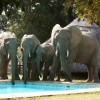 Elephants drinking from the pool - Flatdogs, South Luangwa