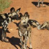 Wild Dogs, South Luangwa