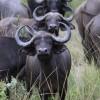 Buffalo - South Luangwa