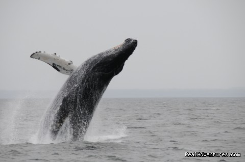 Point Adolphous leaping Humpback whale - Gustavus Inn, James Beard America's Classic 2010