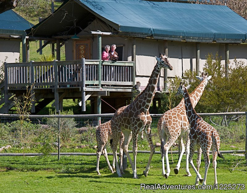 An African adventure in the heart of California wine country! Explore the Sonoma Serengeti on an African wildlife safari or relax in your luxury tent under the gaze of a graceful giraffe... The closest you can get to Africa without a passport!