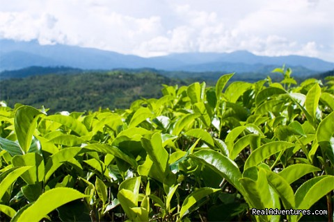 Sabah tea garden - 2D/1N Kinabalu Park/Mesilau/Sabah tea