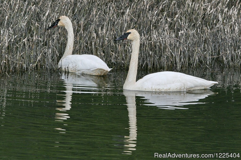 Trumpeter Swans | Image #5/11 | Chilkat River Adventures