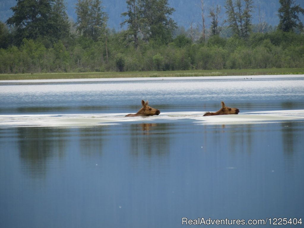 Twin calves | Image #9/11 | Chilkat River Adventures