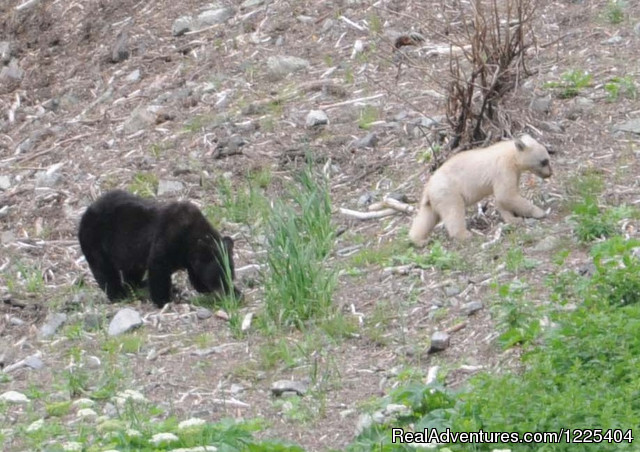 Black bear / white cub - Chilkat River Adventures