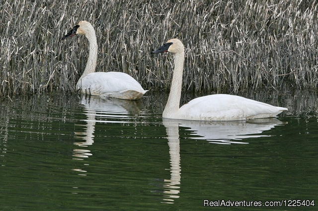 Trumpeter Swans - Chilkat River Adventures
