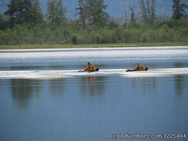 Twin calves - Chilkat River Adventures
