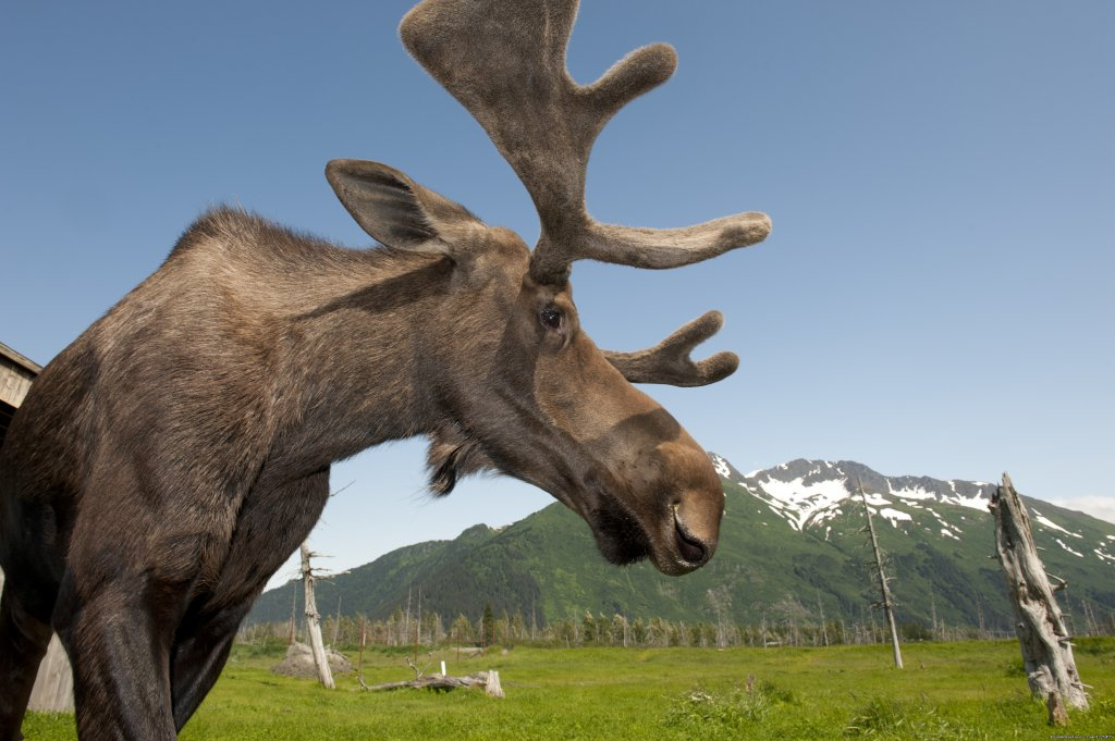 Moose in Alaska | Image #2/17 | Salmon Berry Travel & Tours