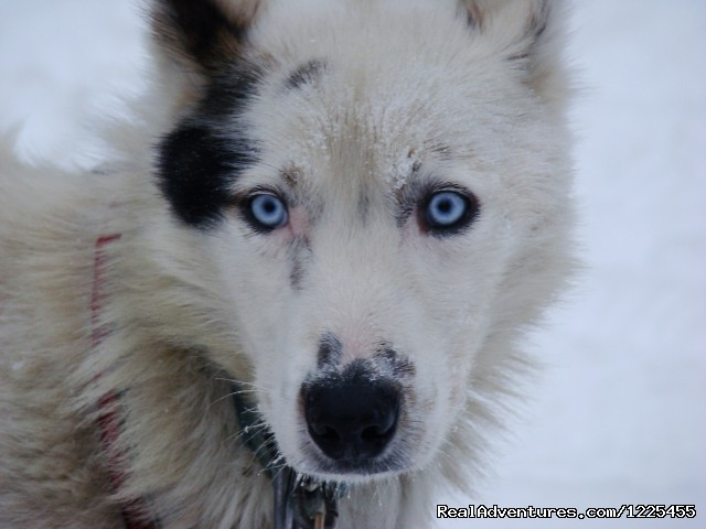 Anchorage Dog Sledding - Salmon Berry Tours