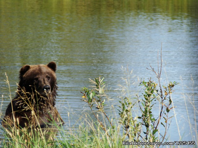 Bears at the Alaska Wildlife Conservation Center - Salmon Berry Tours